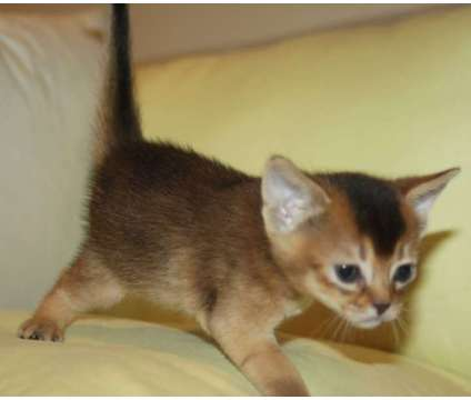 Purebreed CFA abyssinian kittens rudy and blue is a Red Female Abyssinian Kitten in Brooklyn NY
