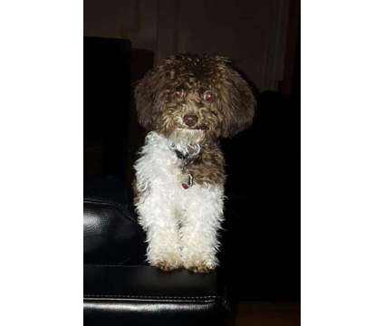 Teacup and Tiny Toy Poodle Stud Service is a Pet & Animal Services service in New York NY