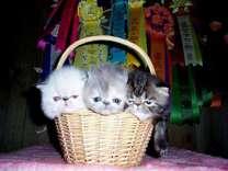 Adorable Persian kittens