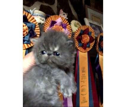 Adorable Persian kittens is a Male Persian Kitten in Springfield MA
