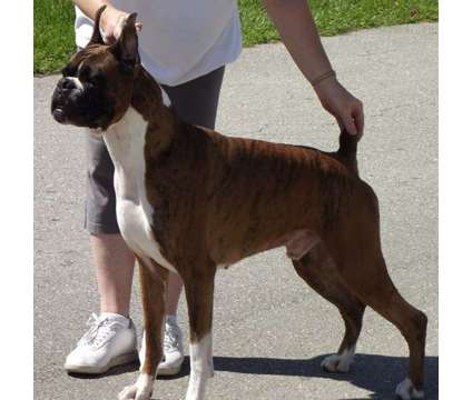 AKC Champion Boxer Stud Service is a Other Pet Services service in N Fort Myers FL