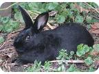 Adopt Midnite a Black American / Mixed (medium coat) rabbit in St Johns
