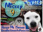 Adopt Mickey (Capone) a White - with Brown or Chocolate Pit Bull Terrier / Mixed