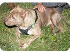 Adopt Tiger a Brindle American Pit Bull Terrier / Mixed dog in SOUTHINGTON