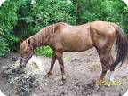 Adopt Bear a Chestnut/Sorrel Quarterhorse / Mixed horse in West Los Angeles