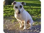 Adopt Lucky aka Groucho a White - with Brown or Chocolate American Pit Bull