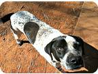 Adopt Alonzo a White - with Black Pointer / Labrador Retriever / Mixed dog in