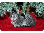 Adopt Clarabelle a Gray, Blue or Silver Tabby cat in Santa Rosa, CA (7819761)
