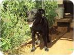 Adopt Max a Black - with White Labrador Retriever / Cocker Spaniel / Mixed dog