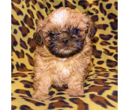 AKC Imperial Shihtzu Pups is a Male Shih-Tzu Puppy For Sale in Abilene KS