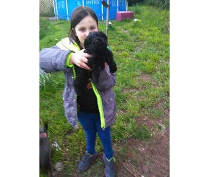 Purebred Mini Schnauzer pup is a Male Miniature Schnauzer For Sale in Bremerton WA