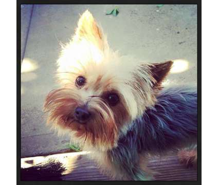 """Tcup Yorkie STUD """"SERVICE"""" NOT FOR SALE is a Other Pet Services service in Long Beach CA"""