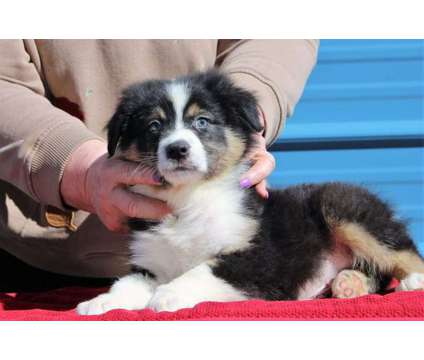 Australian Shepherd is a Female Australian Shepherd Puppy For Sale in Chicago IL