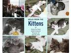 Adopt KITTENS! a Black & White or Tuxedo Domestic Shorthair (medium coat) cat in