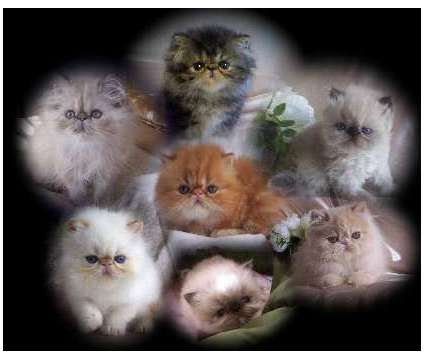 Persian & Himalayan Kittens is a Persian Kitten For Sale in Middleboro MA
