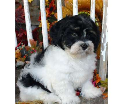 AKC Havanese Christmas puppies nonshedding is a Male Havanese Puppy For Sale in Kodak TN