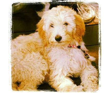 Goldendoodle Puppies is a Female Goldendoodle Puppy For Sale in College Station TX