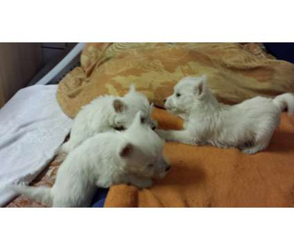 West Highland White Terrier Puppies (1 male, 1 female) still left is a White Female West Highland White Terrier Puppy For Sale in Norfolk VA