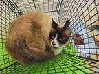 Adopt FARLEY a White (Mostly) Snowshoe / Mixed (medium coat) cat in Lacombe