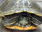 Adopt SPEEDY a Turtle - Other reptile, amphibian, and/or fish in Wildomar