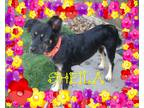 Adopt Sheila a Black Collie / English Shepherd / Mixed dog in Houston
