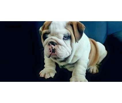 family pets English Bulldog Puppies is a Bulldog Puppy For Sale in Phoenix AZ