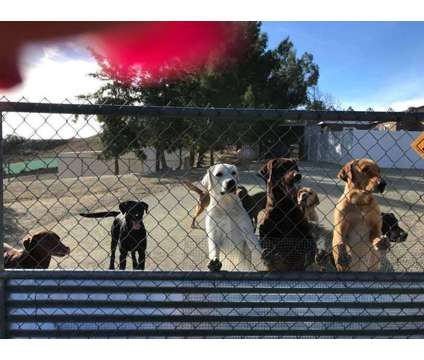 Labrador Puppies Quality Champion Hunting Lines Arrived 2/27/17 Big is a Black Female Labrador Retriever Puppy For Sale in Jamul CA
