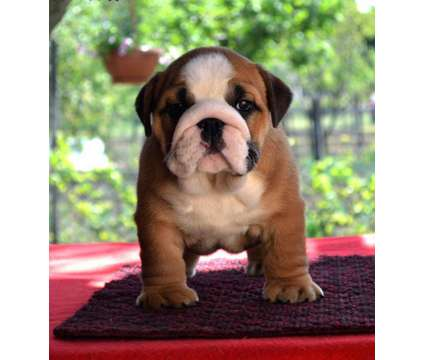 6 beautiful, chunky English bulldog puppies is a Bulldog Puppy For Sale in Corpus Christi TX