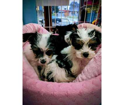 Biewer Yorki's, Toy Teddybears, YoShih's, more is a Biewer, Yorkshire Terrier in Milwaukee WI