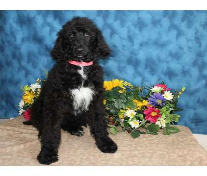 Standard Poodle For Sale AKC Registered is a Male Standard Poodle For Sale in Hutchinson KS