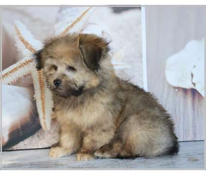 Russian Tsvetnaya Bolonka Puppies is a Russian Tsvetnaya Bolonka Puppy For Sale in Brady TX