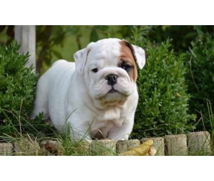 5 thriving beautiful English Bulldog Puppies is a Bulldog Puppy For Sale in Wichita KS