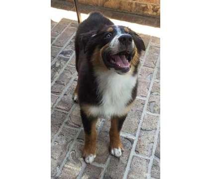 Australian shepherd is a Red Male Australian Shepherd Puppy For Sale in Cypress TX