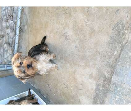 Shorkie Puppies is a Male Shorkie Tzu Puppy For Sale in Fayetteville TN