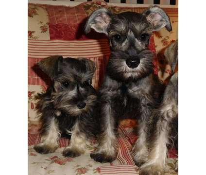 Awesome Salt-Pepper Mini Schnauzer boys Sht/Wrm/1yr Guar is a Male Miniature Schnauzer Puppy For Sale in Vista CA