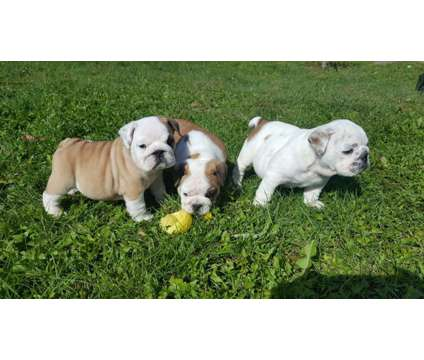 BFF 9+ weeks English Bulldog Puppies is a Bulldog Puppy For Sale in Arlington TX