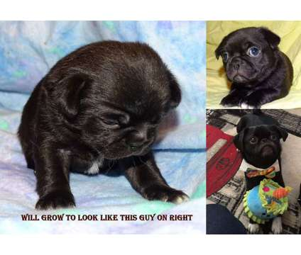 "ACHC Japug ""pocket pugs"" Health Guaranteed is a Pug Puppy For Sale in Wichita KS"
