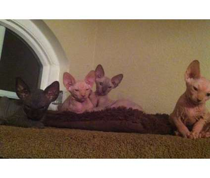 hairless kitten is a Baby & Kid Stuff for Sale in Murrieta CA