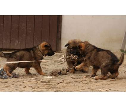Fully Vaccinated- Stunning German Shepherd Puppies is a German Shepherd Puppy For Sale in Phoenix AZ