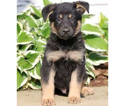 Jumping German Shepherd puppies is a German Shepherd Puppy For Sale in Live Oak TX