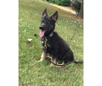 German Shepherd Puppies Super Litter is a Female German Shepherd For Sale in Hiram GA