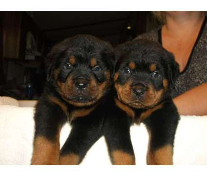 Rottweiler puppies for sale in texas = quality is a Rottweiler Puppy For Sale in Fort Worth TX