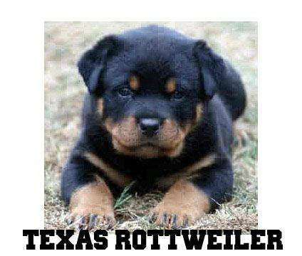 Rottweiler puppies for sale in texas = quality is a Rottweiler For Sale in Fort Worth TX