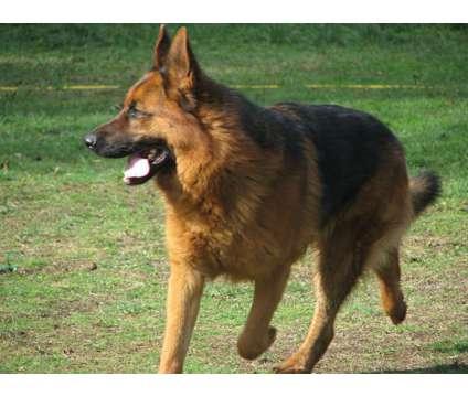 World champion bloodlines German shepherd stud is a Male German Shepherd For Sale in Spanaway WA
