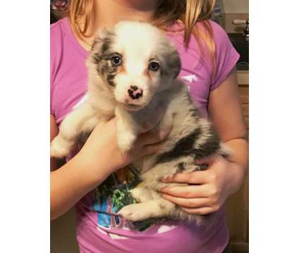 Miniature Australian Shepherd Black Tri Female is a Black Female Australian Shepherd Puppy For Sale in Selinsgrove PA