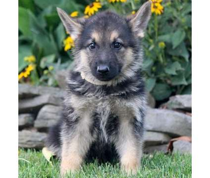 Absolute German Shepherd puppies is a German Shepherd Puppy For Sale in Sunrise Beach MO