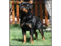 AKC Rottweiler Male Puppy - German Import Parents