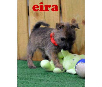 Eira is a Beautiful Female Cairn Terrier Female Born 8-6-16 is a Female Cairn Terrier Puppy For Sale in Maysville OK