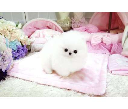 Dgtstsst Teacup Pomeranian Pups for Sale is a Pomeranian For Sale in Miami FL