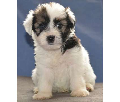 Beautiful litter of Tibetan Terrier puppies is a Tibetan Terrier Puppy For Sale in Corpus Christi TX